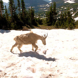Jeff Swan - Mountain goat crossing a snow patch