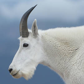 Mountain Goat In Profile by Marie Leslie