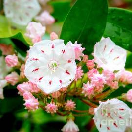 Mountain Laurel Smoky Mountains by Charlene Cox