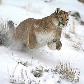 Wildlife Fine Art - Mountain Lion Action