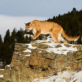 Mountain Lion On Rocks by Scott Read