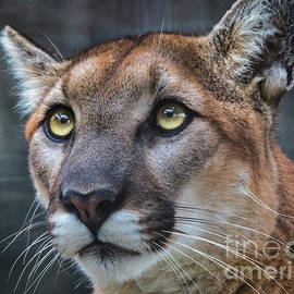 Mitch Shindelbower - Mountain Lion Portrait