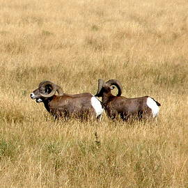 Mountain Sheep by Ed Mosier