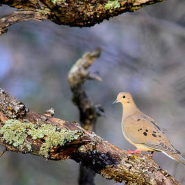 Alan C Wade - Mourning Dove - 1