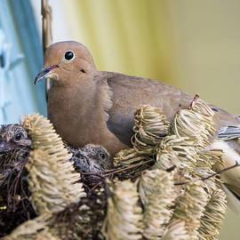 Steven Ralser - Mourning Dove and Chicks 2