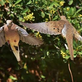 Mourning Doves Wings  by Linda Brody