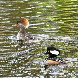 Mr. And Mrs. Hooded Mergansers by Don Mercer