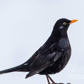 Torbjorn Swenelius - Mr Blackbird