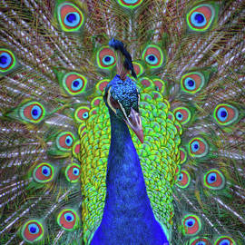 Mitch Shindelbower - Mr, Peacock