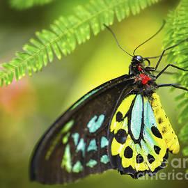Mr. Richmond Birdwing by Mary Lou Chmura