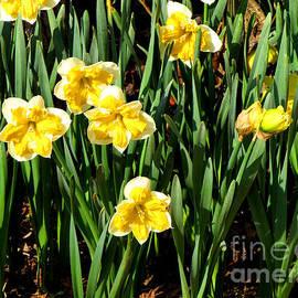 Gardening Perfection - Mrs. Fields Daffodils