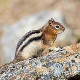 Golden-Mantled Ground Squirrel by Bianca Nadeau