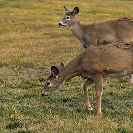 Kae Cheatham - Mule Deer Browsing