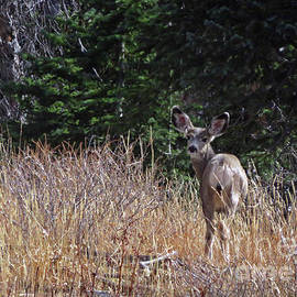 Mule Deer In Utah by Cindy Murphy - NightVisions