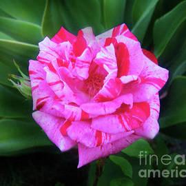 Sofia Metal Queen - Multi-color pink hybrid rose