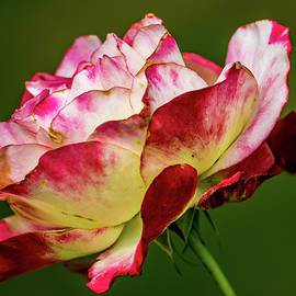 Randy Herring - Multi-colored Rose