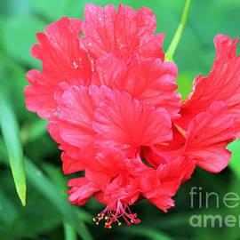 Multi-layered Red Hibiscus