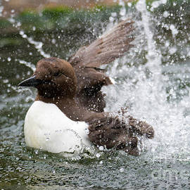 Murre Splash - Mike Dawson