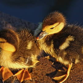 Muscovy Ducklings by Denise Mazzocco