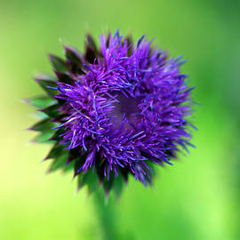 Musk-Thistle