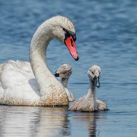 Morris Finkelstein - Mute Swan And Cygnets
