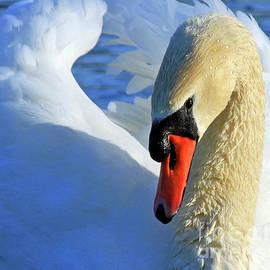 Steve Gass - Mute Swan Close-up
