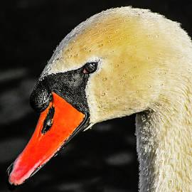 Morris Finkelstein - Mute Swan Portrait
