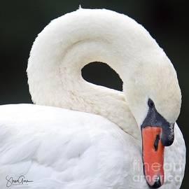 Mute Swan Portrait by Steve Gass