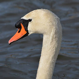 Mute Swan by Richard Andrews