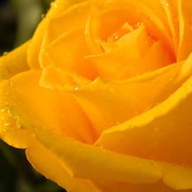 Arlane Crump - My Favorite Rose