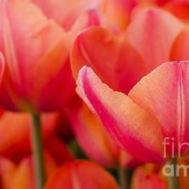 Nick  Boren - My Sherbet Tulips