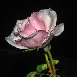 Mystic Beauty Rose 010 by George Bostian