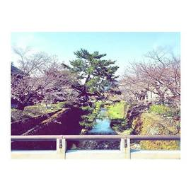 Miho Konishi - まだまだ咲き始め #お花見
