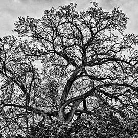 Naked Oak On The Capitol Hill by Val Black Russian Tourchin