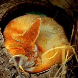 Greg Slocum - Napping Fennec Fox