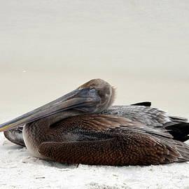Carla Parris - Napping Pelican