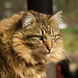 Shari Nees - Nari a Maine Coon cat