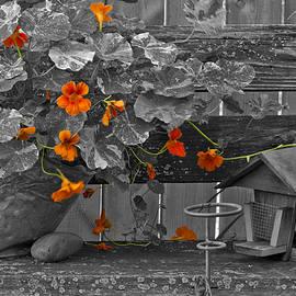 Sandra Foster - Nasturtiums In The Breeze - Selective Color