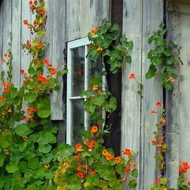 Carla Parris - Nasturtiums on Cabin Wall