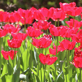 Cynthia Guinn - Neon Red Tulips