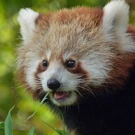 Margaret Saheed - Nepalese Red Panda Junior