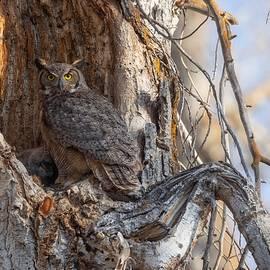 Steven Clevidence - Nesting Great Horned Owl