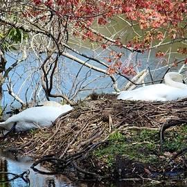 Cynthia Guinn - Nesting Swans