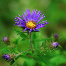 New England Aster by Bill Morgenstern