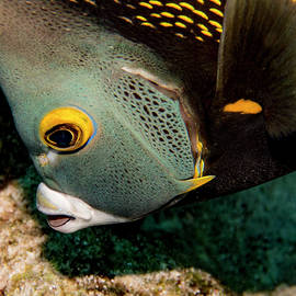 Nibbling French Angel Fish