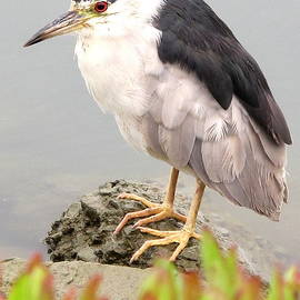 Night Heron 22 by John King I I I