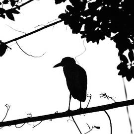 Debbie Oppermann - Night Heron Black And White