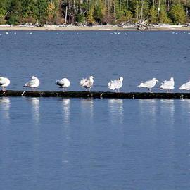 Nine Seagulls on Comox Lake by Ed Mosier