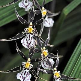Heidi Fickinger - Ninja Orchids