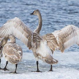 Patti Deters - Juvenile Swan Wingspread